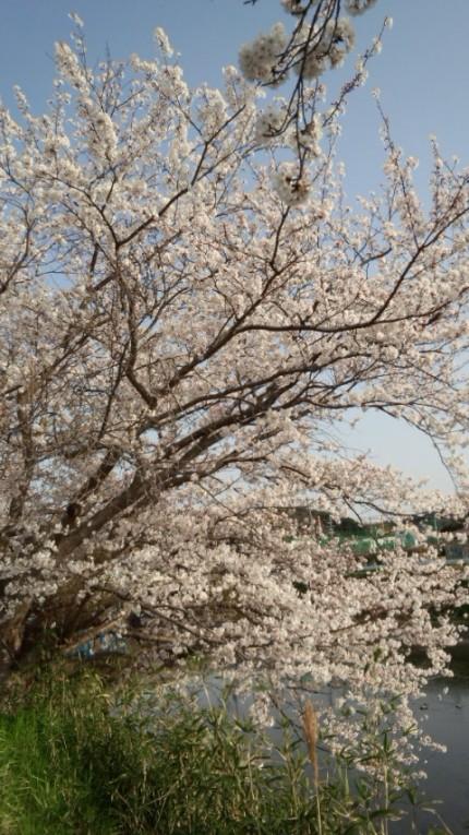 桜 大田図書館横川沿い